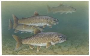 lac, truite, poissons, salvelinus, namaycush