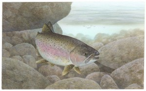 rainbow, trout, fish, oncorhynchus, mykiss
