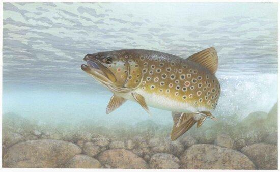 brook, trout, brook, trout, fish, salvelinus, fontinalis