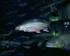 bajo el agua, imagen, arroyo, trucha, pez
