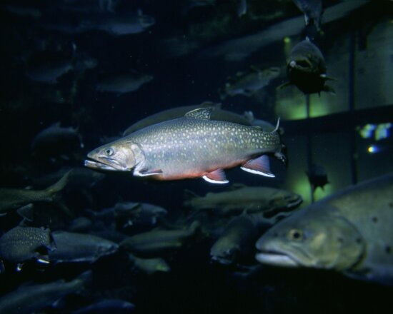 underwater, image, brook, trout, fish
