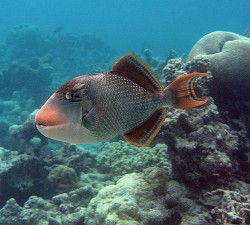 underwater, photograph, yellowmargin, triggerfish, marine, fish, pseudobalistes, flavimarginatus