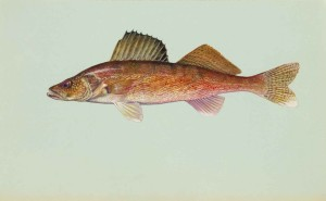walleye, fish, stizostedion, canadense