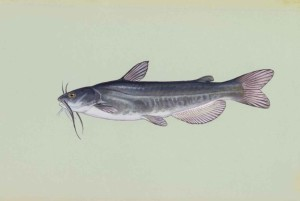white catfish, fish, amereiurus, catus