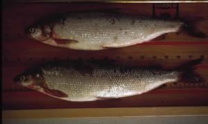 biały, ryby, garbus, pomiar