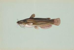 yellow, bullhead, fish, ameiurus, natalis