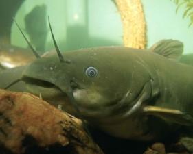 yellow, bullhead, fish, head, underwater, up-close, image, ameiurus, natalis