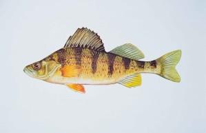 žuta, grgeč, riba, perca, mlađ
