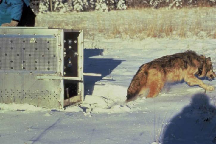 Wilk, wyposażone, radio, kołnierz, wydany, dziki