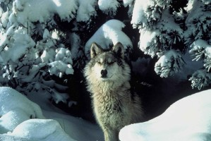 endangered, gray wolf, peers, snow, covered, shelter