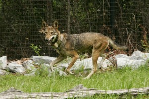 gefährdet, rote Wolf, canis rufus