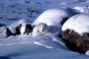 Arctic fox, curled, snow, Alaska, winter