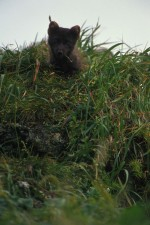 Polární liška, tráva, zblízka, obličej