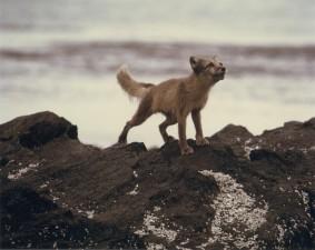 Renard arctique, roches, animal, vulpes lagopus