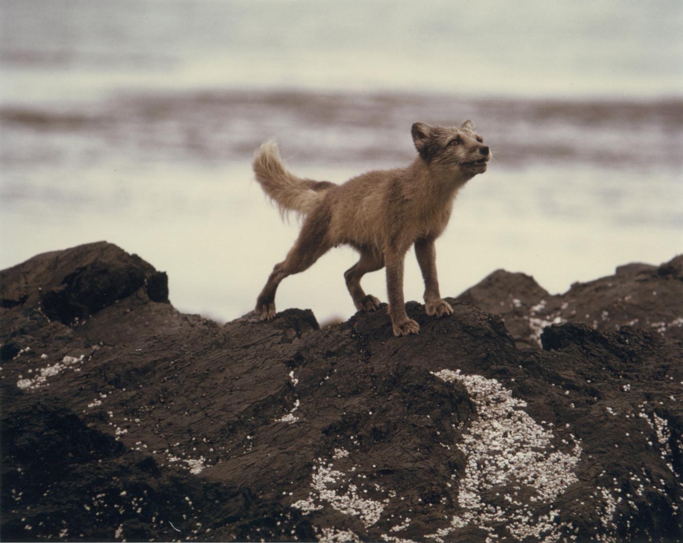 Free Picture Arctic Fox Rocks Animal Vulpes Lagopus
