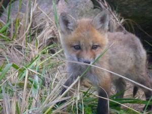 baby, red fox, vulpes vulpes
