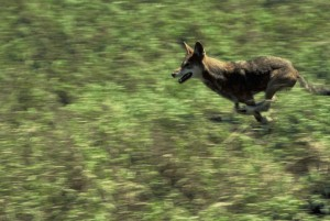 canis, rufus, red wolf, wildness, running