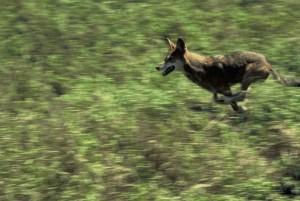 rufus, röda vargen, Canis, vildhet, kör