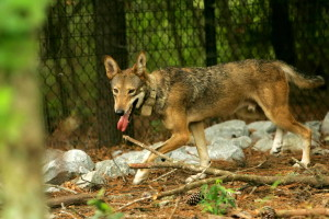captive, red wolf, canis rufus
