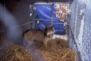 Serigala abu-abu, hewan, predator