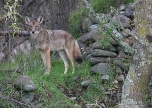 coyote, wild, vegetation