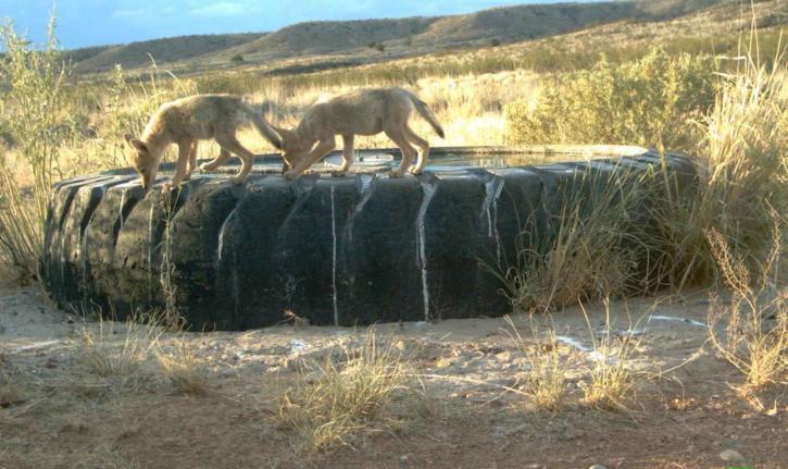 Coyote, pups