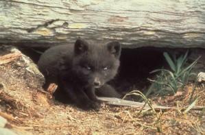 fox, cub, cute, fox, animal