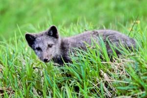 Fuchs, Welpe, Gras