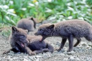 fox, pups, animals