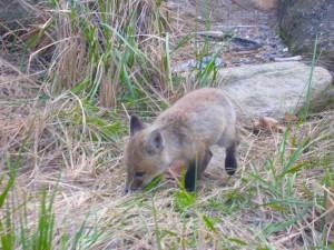 Fox, små små gress