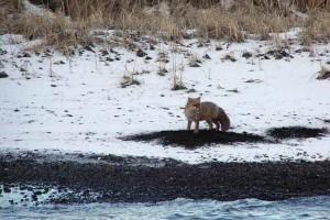 fox, digging, clams, beach