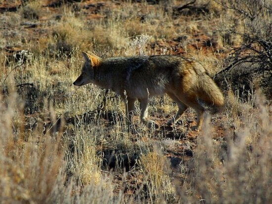 foxes, coyotes, wild, anilmal, field