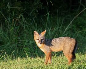 Gray, fox, động vật, urocyon, cinereoargenteus
