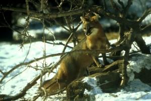 γκρι, αλεπού, χιόνι, χειμώνα