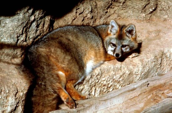 gray, fox, rocks