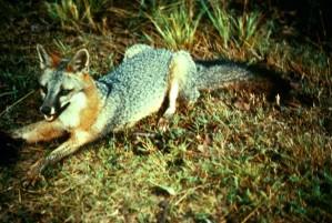 γκρι, αλεπού, predator, urocyon, cinereoargenteus