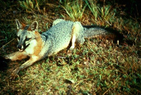 gray, fox, predator, urocyon, cinereoargenteus