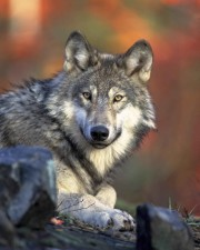 gray wolf, head, canis lupus