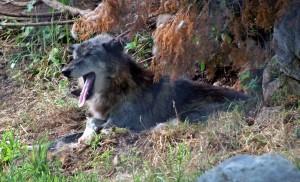 γκρίζος λύκος, χασμουρητό