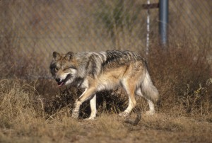 Mexicaanse, wolf, canis lupus baileyi