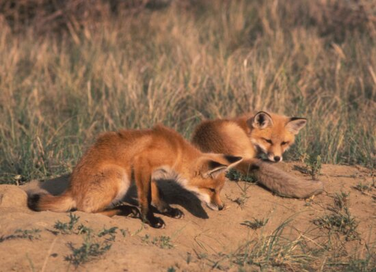 pair, red fox, pups, rest, side