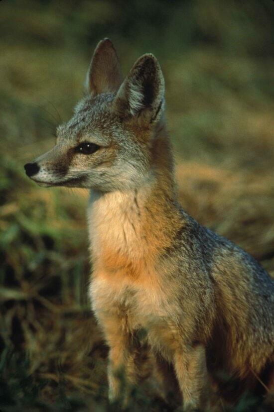 profile, Joaquin, kit, fox, vulpes macrotis, mutica