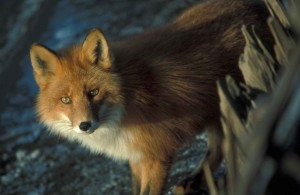 red fox, details, photo