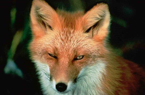 red fox, face, mammal, vulpes vulpes