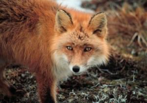 le renard roux, fourrure, mammifère