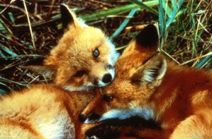 red fox, kits