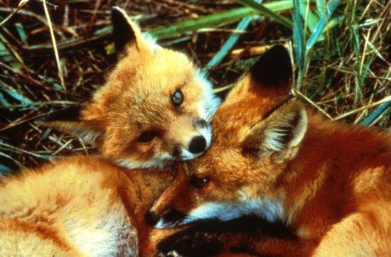 red fox, kits