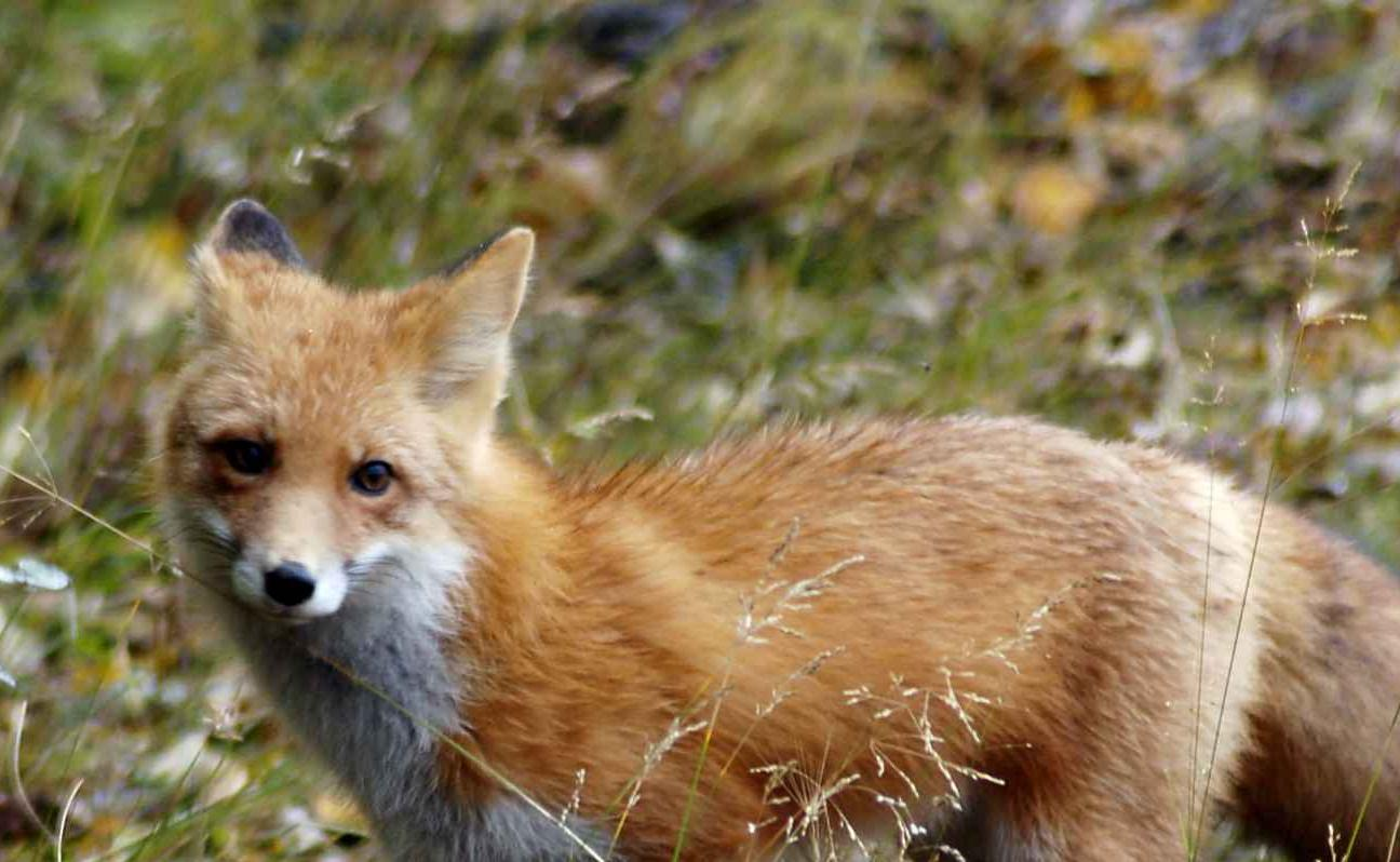 red fox picture free