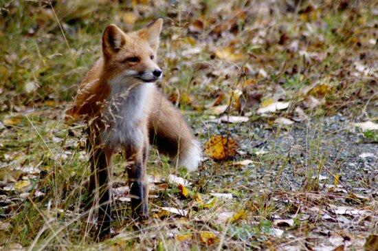 red fox, mammal