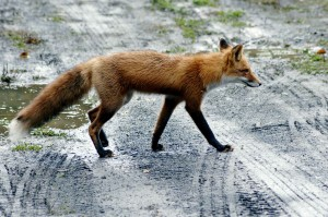 red fox, road